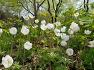 대구수목원 화단에 휘귀종 백옥같이 흰꽃송이가 바람결에 휘날리는 미등록 원예종 눈바람꽃(아네모네),꽃.