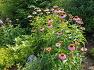 대구수목원에 항암 화징품 원료 천연 항생제로 쓰이는 약용 허브식물 에키네시아(자주 루드베키아),꽃,효능.