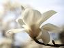 [목련화] 봄꽃에 빼놓을 수 없는 목련꽃을 담아오다 / 토함